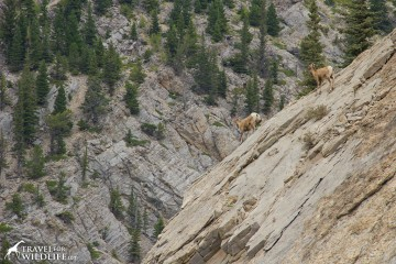 Bighorn sheep at the Rocky Mountain Forest Reserve in Alberta