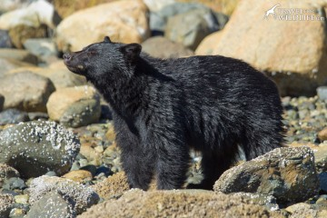 Black Bears lift up rocks along the shore and search for crabs. Sighted on bear tour with The Whale Centre.
