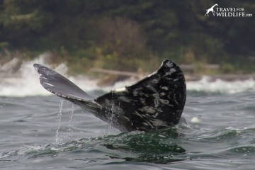 The End! The last thing you see on a gray whale as it dives down to feed.