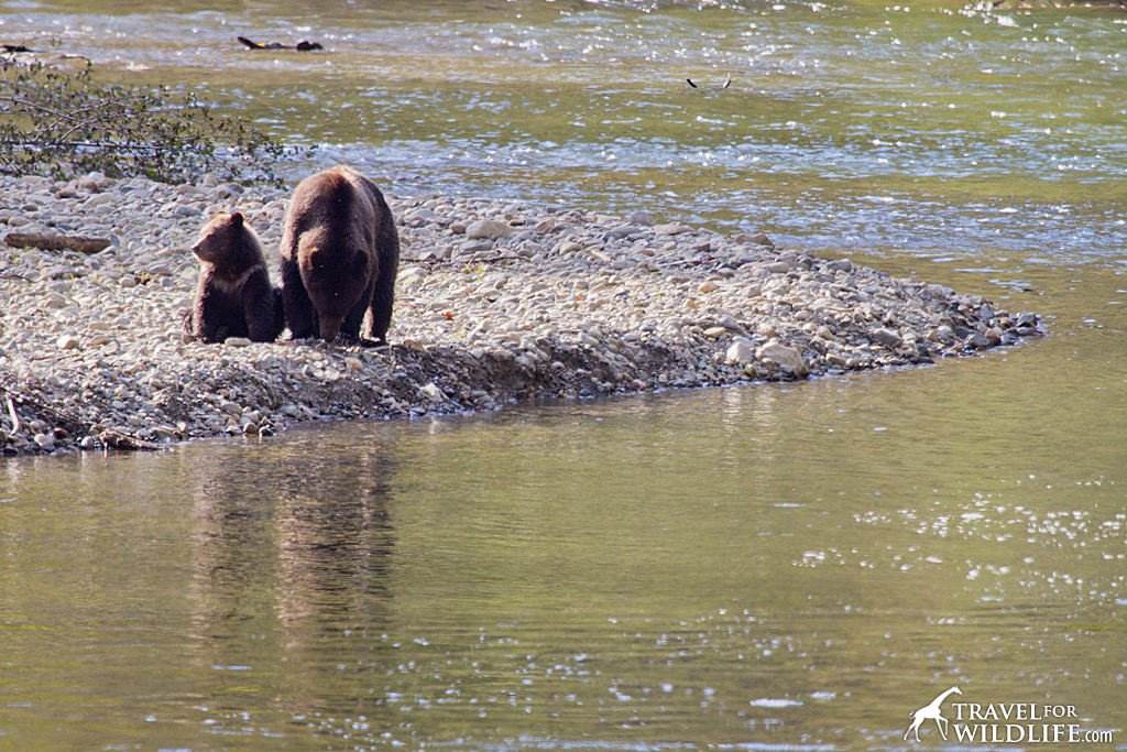 Mother bear and cub at the Atnarko river