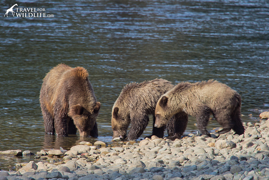 A mother grizzly and her two cubs fishing for salmon in the Atnarko River