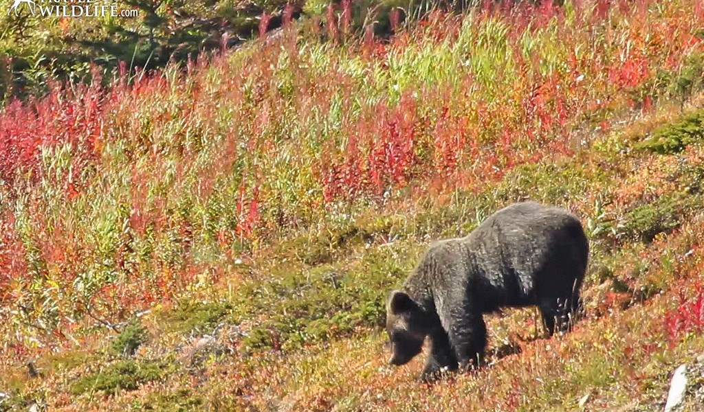 """""""Joe"""" the grizzly bear grazing in the meadow beside the Lake Louise Gondola"""