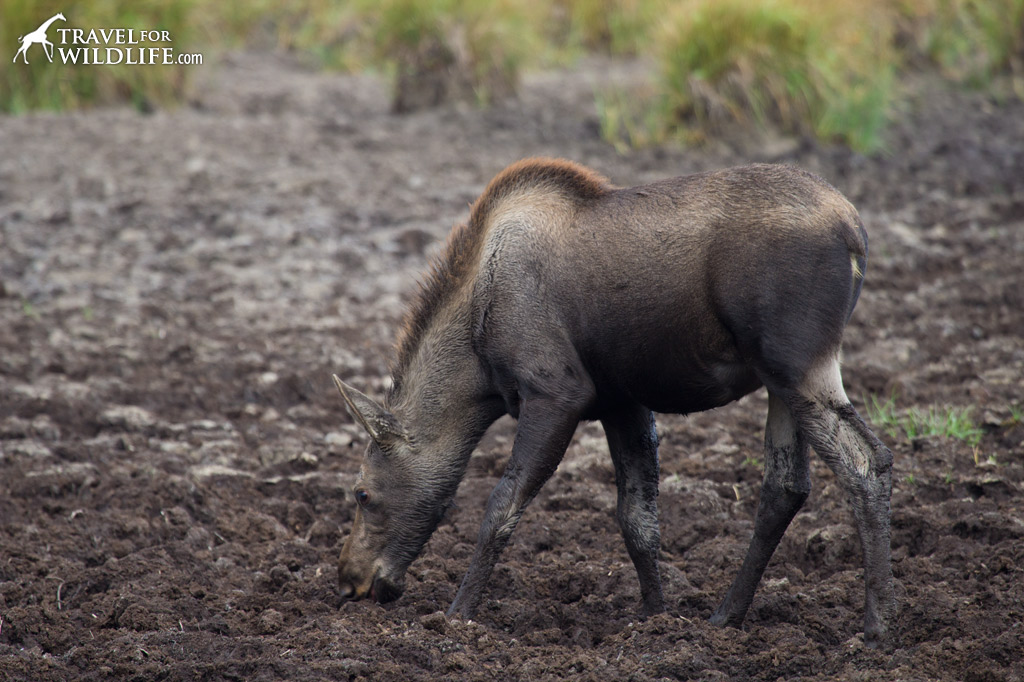 A moose calf savoring a breakfast of selenium-rich mud!