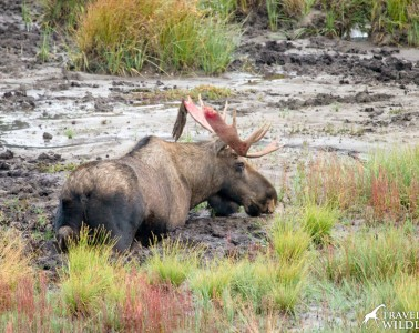 A large bull moose with freshly shed velvet up to his belly in mud