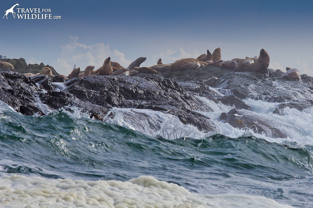 Steller Sea Lions haul out on a wave-battered island near Tofino.