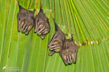 Tent-making bats near Corcovado in Costa Rica
