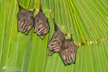 Tent-making bats near Corcovado in Costa Rica
