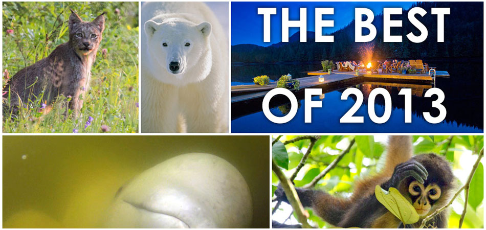 Polar bear encounter, swimming with belugas and wilderness lodges
