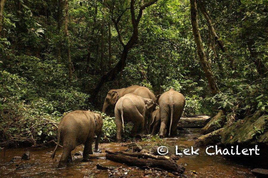 A group of Asian elephants walking in the forest