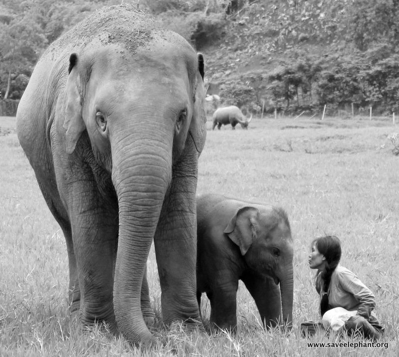 Lek Chailert with an Asian elephant and her baby