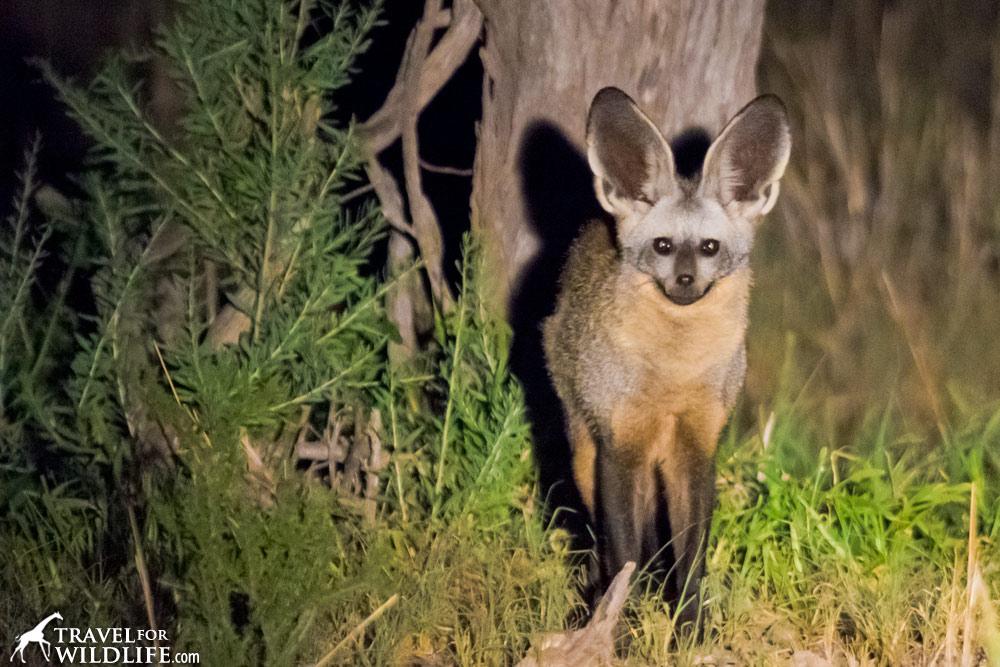 Bat eared fox - photo#14