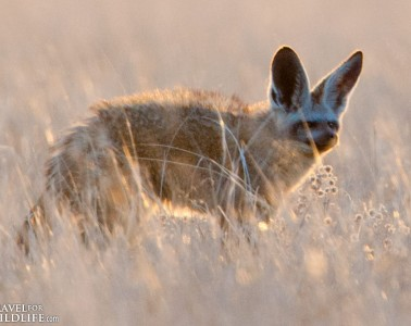 bat-eared-fox-12