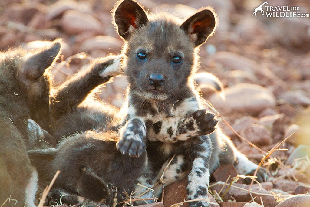 Photo African Wild Dog Puppy Travel For Wildlife