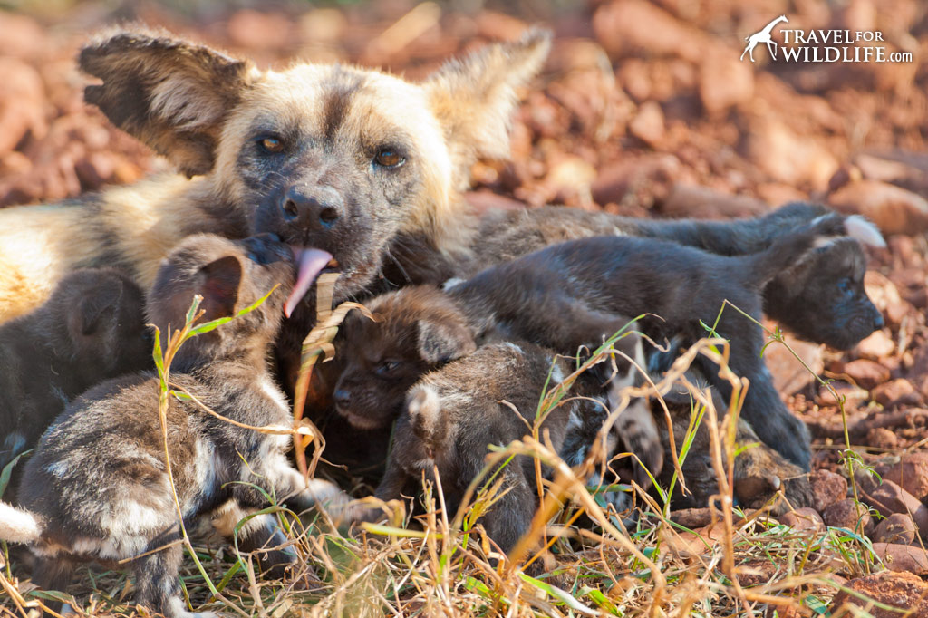 nursing her puppies outside the den when they were only 24 days old