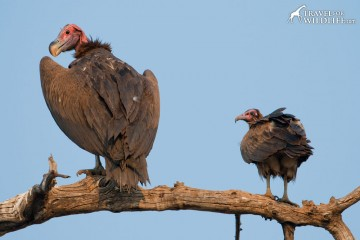 Lappet-faced Vulture and Hooded Vulture in Chobe National Park, Botswana