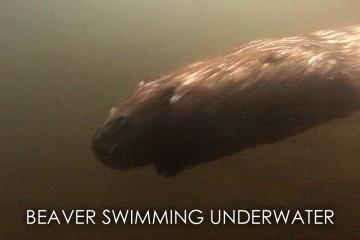 wild beaver swimming underwater
