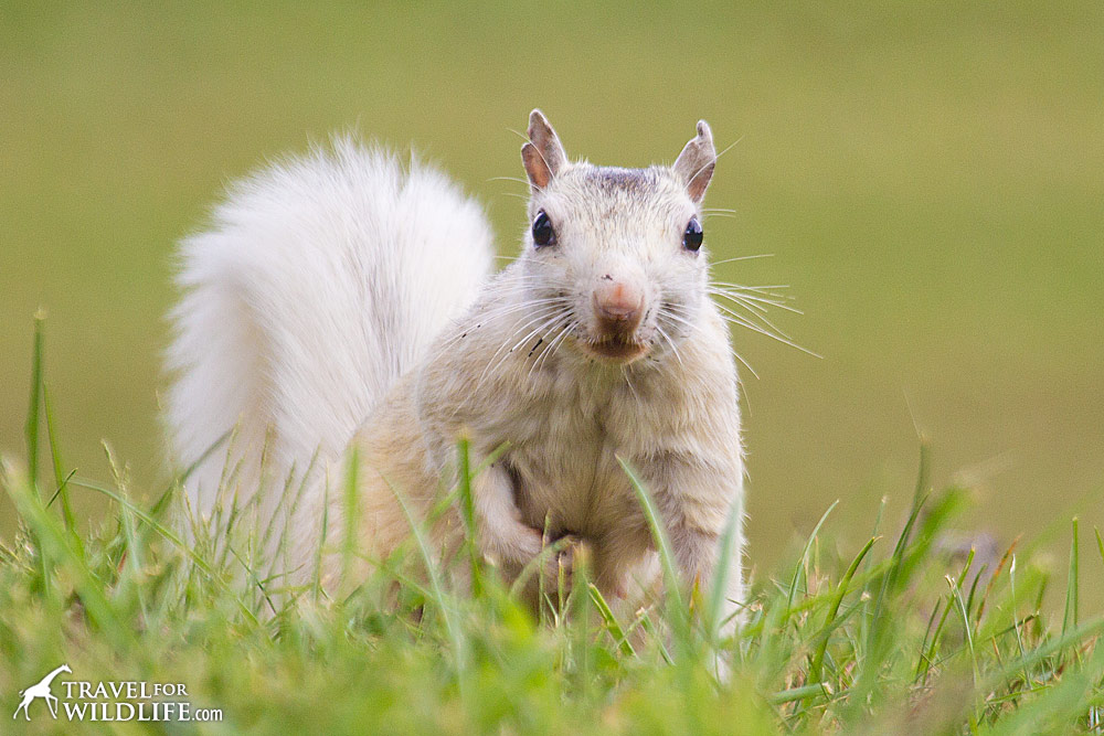 A white squirrel in Brevard