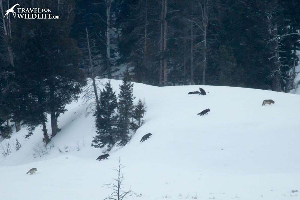 Lamar Canyon wolf pack