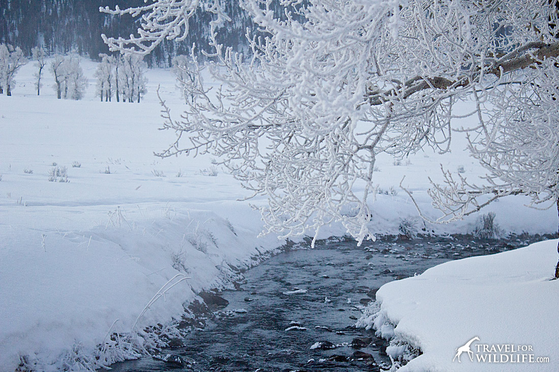 A Guide To Wolf Watching In Yellowstone In The Winter