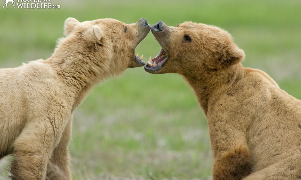 Two grizzly bears in Alaska