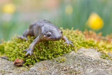 Our mole salamander