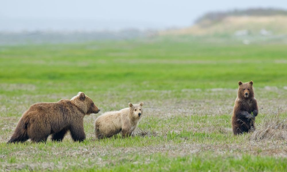 grizzly-cubs