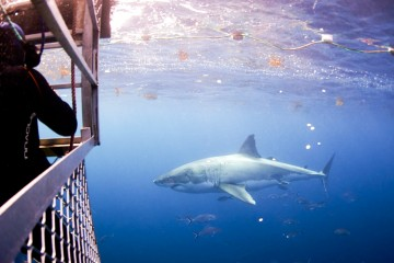 A shark cruising by the shark cage