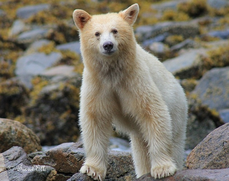 A spirit bear looking into the camera
