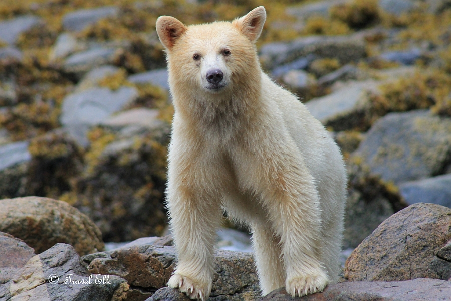 spirit bear Bright white against the dense green forests on the coast of british columbia, these 'spirit' bears are a sight to behold you explore the coast on an expedition ship that delves into untouched fiords and plies through peaceful waters, pierced by inquisitive humpbacks.