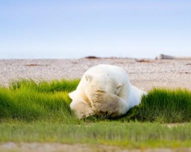 Polar bear sleeping