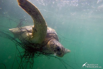 Green sea turtle caught in net