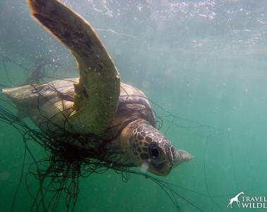 Green sea turtle caught in net