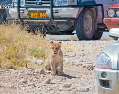 Proper Safari Etiquette means don't block animals with your car