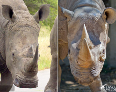 how to tell the difference between a black rhino and a white rhino